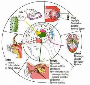 Órgãos dos sentidos (Fisiologia animal) Só Biologia