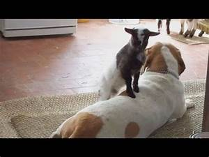 Cute baby pygmy goat plays with dogs. - YouTube