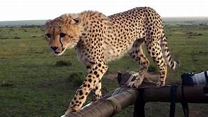Cheetah Fail  Big Cat Falls Through Safari Jeep Roof