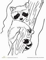 Raccoon Coloring Pages Drawing Raccoons Line Racoon Drawings Craft Animals Outline Template Animal Worksheet Printable Spring Colouring Sheets Education Patterns sketch template