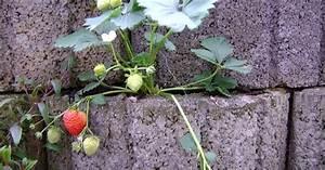 Pflanzen Kübel Beton : terrassen und balkonbepflanzung erdbeeren und gem se in pflanzringen lohnenswert ~ Markanthonyermac.com Haus und Dekorationen