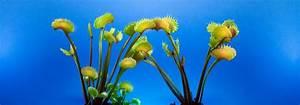 Fleischfressende Pflanze Pflege : fleischfressende pflanzen haltung und pflege taudan ~ A.2002-acura-tl-radio.info Haus und Dekorationen