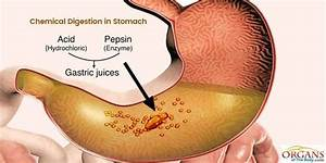 23 Interesting Stomach Facts  Function  Parts  U0026 Diseases