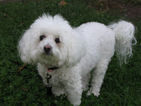 File Ee  Bichon Frise Ee   Jpg Wikimedia Commons