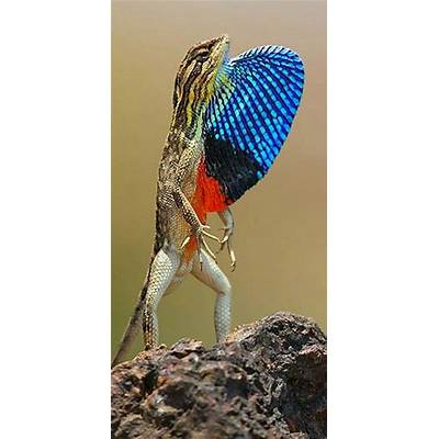 99 best images about Fan-throated Lizards on Pinterest