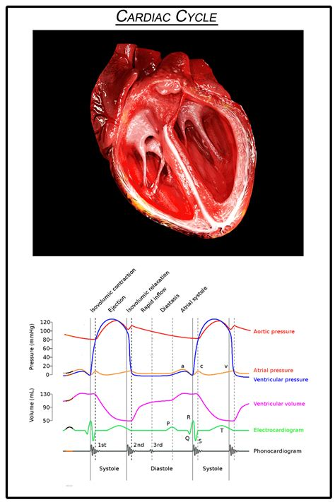 heart cardiac cycle animated diagram human system electrical valves wiggers phases gifs cut ventricles wikipedia activity could physiology atria beating