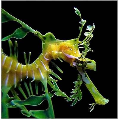 17 Best images about Leafy sea dragon on Pinterest
