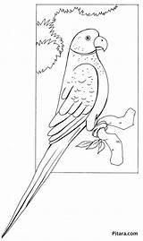 Parrot Coloring Pitara sketch template