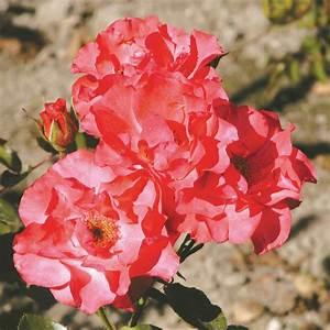 Comment Tailler Les Rosiers : comment tailler les rosiers grandiflora floribunda et ~ Nature-et-papiers.com Idées de Décoration
