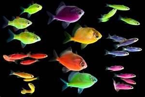 GloFish Emergency! My GloFish's Tail Got Caught On The ...