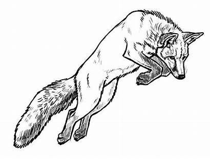 Fox Coloring Pages Jumping Kit Foxes Easy