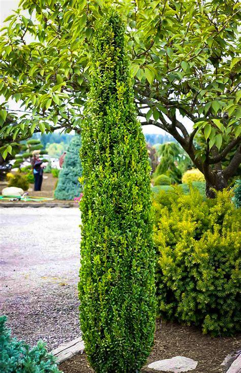graham blandy boxwood shrubs  sale  tree center