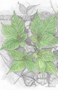 1000  Images About Ginseng On Pinterest