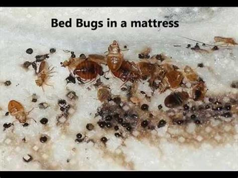 what to look for in a mattress how to tell if you have bed bugs what do bed bugs look like youtube