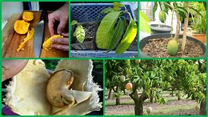 Growing Mangos From Seed - How To Plant a Mango Seed and ...