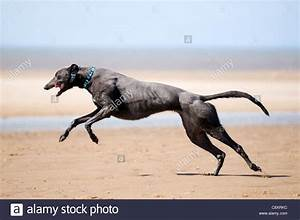 Greyhound running in full flight across the sand at Old ...