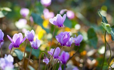 Alpu vijolītes, kuras ziemo dārzā? Tādas ir! - Jauns.lv