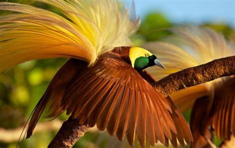 Cepat Hamil Gambar Dan Jenis Burung Cendrawasih Ragam Informasi