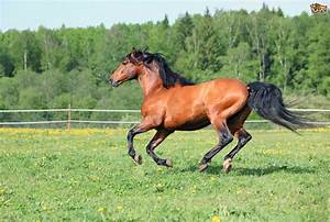 Thoroughbred Ho... Horse Breeds