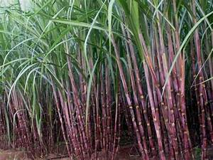 Sugarcane - University of Florida, Institute of Food and ...