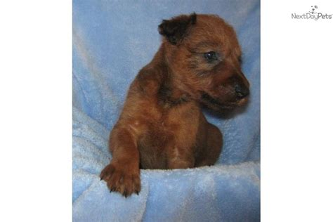 non shedding dogs ireland terrier for sale for 800 near lake of the ozarks