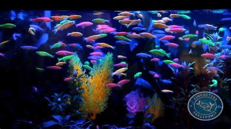black light aquarium fincasters episode 8 glofish