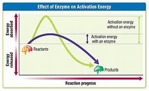 Ec Honors Biology  Enzymes