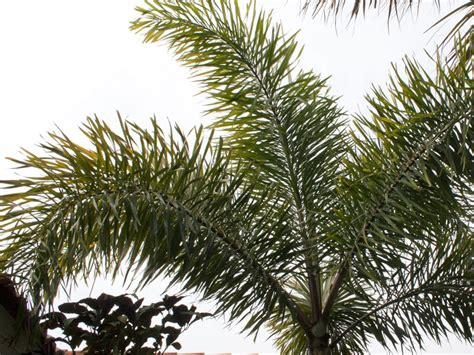 trimming pineapple palm trees to cabbage palm trees by a licensed tree service in sarasota fl