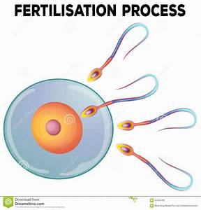Diagram Of Fertilisation Process Stock Vector