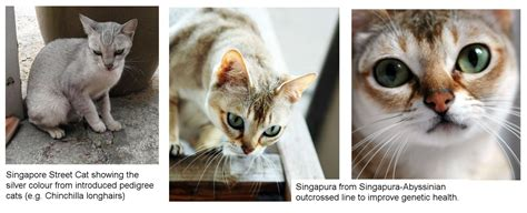 The Shady Story Of The Singapura