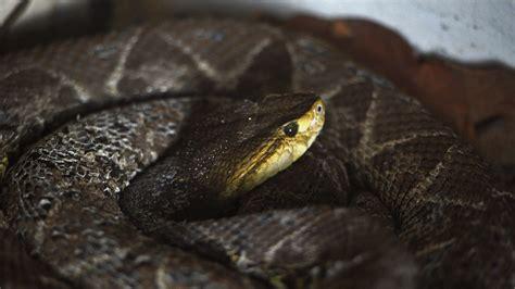 higher temperatures lead   viper bites  sweden