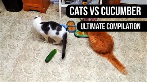 cats scared cucumber compilation ultimate