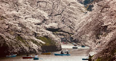 japans cherry blossoms blooming  fall  extreme