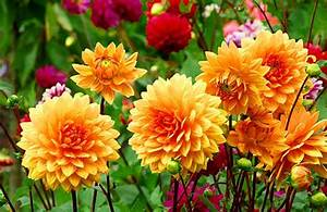Welche Blumen Blühen Im August : ji inky poklad podzimn zahrady jak je p stovat okrasn zahrada ~ Orissabook.com Haus und Dekorationen