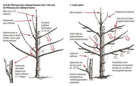 wann pflanzt obstbäume wann pflaumenbaum schneiden pflaumenbaum schneiden