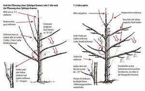 Apfelbaum Wann Schneiden : zwetschgen und pflaumenb ume von lubera ~ Frokenaadalensverden.com Haus und Dekorationen