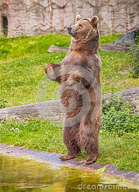 brown bear standing   hind legs stock photo image