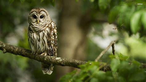 wallpaper hd owl info  tips