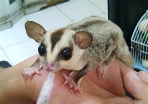 jenis sugar glider white face | Binatang Peliharaan