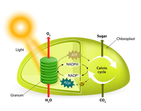 Photosynthesis Or Why Light Matters