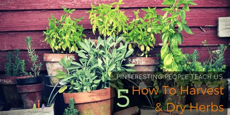 how to harvest herbs 5 pinteresting people teach us how to harvest and dry herbs