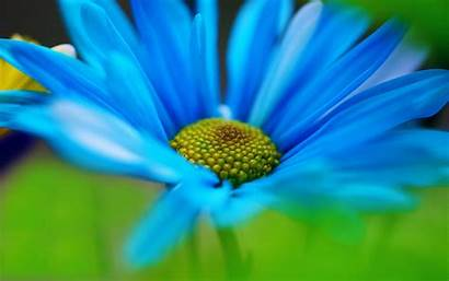 Daisy Daisies Flower Wallpapers Resolution Background Macro