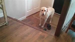 Silly Labrador Retriever Hesitant To Climb Newly-Colored ...