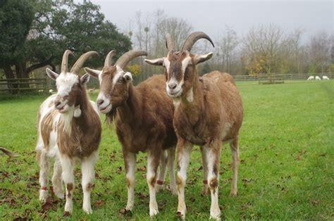 buttercups sanctuary  goats