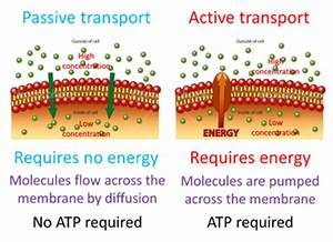 The Abc U2019s Of Cellular Transport By Conner Pate  U2013 Biology 441