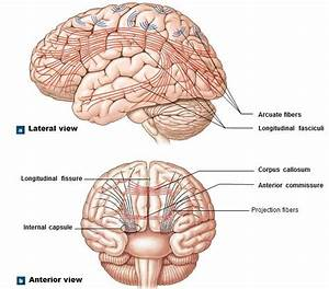 17 best ideas about Cerebrum Function on Pinterest ...