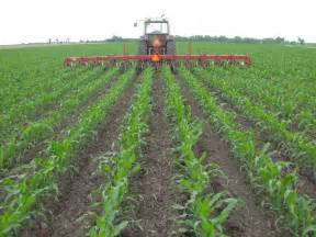 Cultivating Corn with Tractor