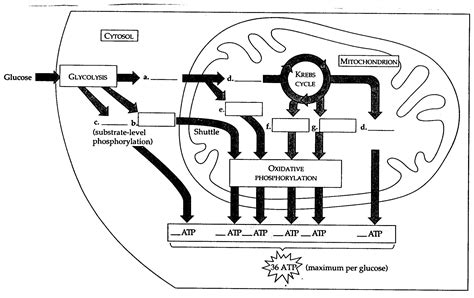 cellular respiration diagram worksheet blank imagestack