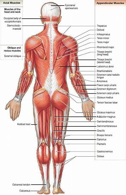 Muscles Muscle Anatomy Skeletal Diagram Groin Biceps