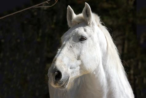 big white horse hd wallpaper background image